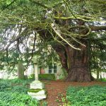 St Cuthberts Yew ancient tree