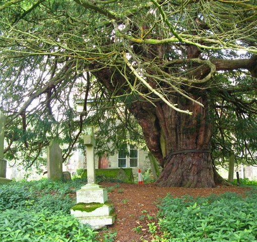 St Cuthbert's Yew