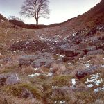 Sycamore Gap veteran Tree