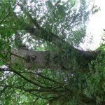 Morpeth woodland Oak -Veteran tree