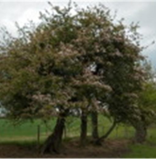 Stannington crab apple