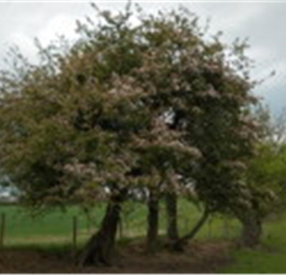 Stannington crab apple - Ancient tree